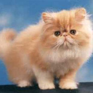 Il gatto rosa