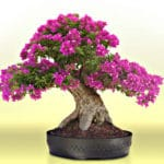 Bonsai di bougainville