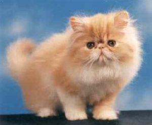 il_gatto_persiano